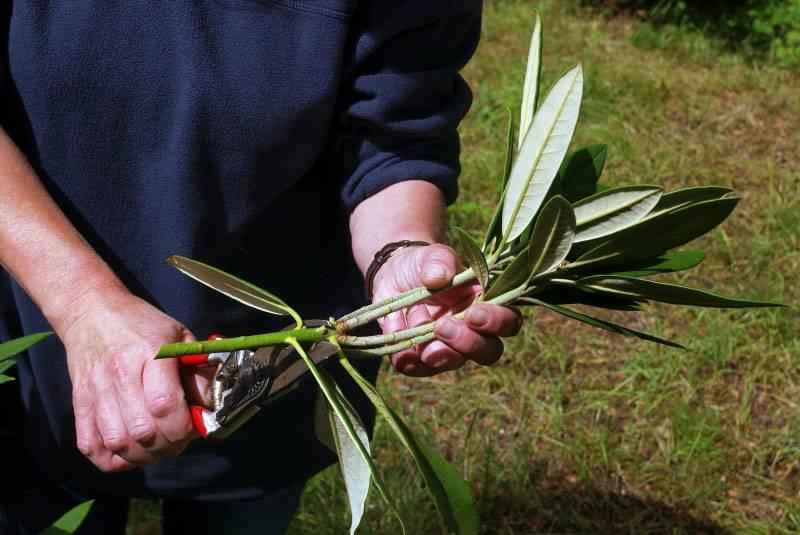 Азалия отцвела: что делать дальше, а также почему рододендрон в горшке сбрасывает листья или сохнет и как ухаживать за ним, чтобы сохранить растение?