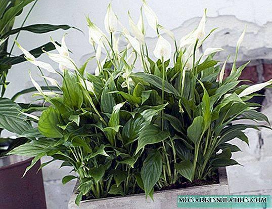 Спатифиллум — виды цветка, описание как выглядят