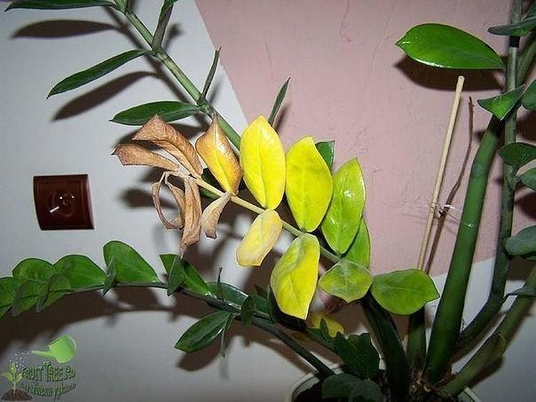 У замиокулькаса желтеют листья, причины и что делать
