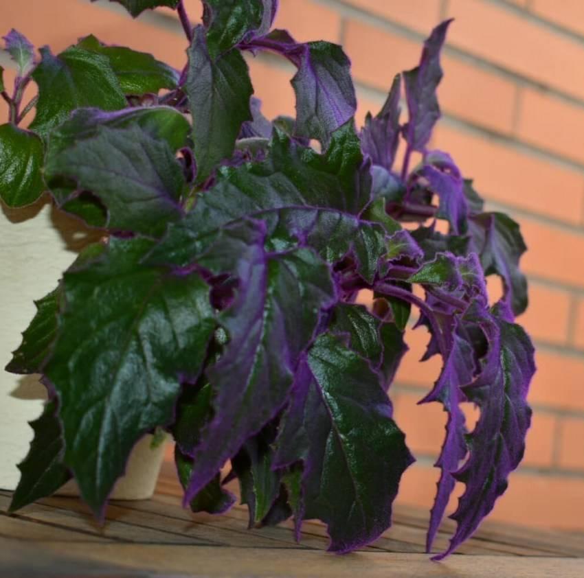 """""""гинура"""" - растение с бархатными листьями у вас дома. уход в домашних условиях, описание и фото"""