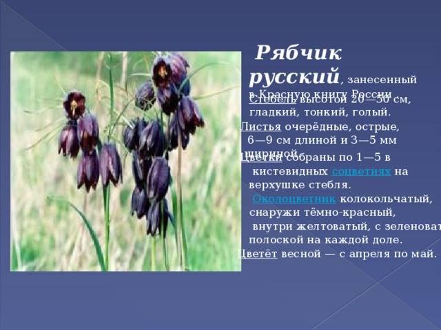 Великолепный цветок рябчик императорский