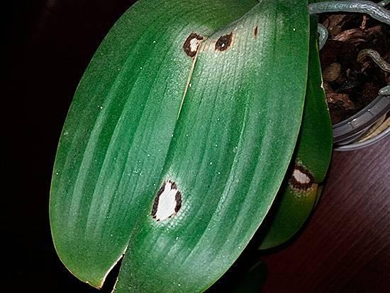 Сциариды – мошки в орхидеях: чем опасны и как избавиться