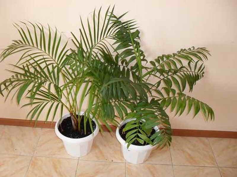 Прекрасная ховея наполняет энергией! особенности ухода за пальмой в домашних условиях