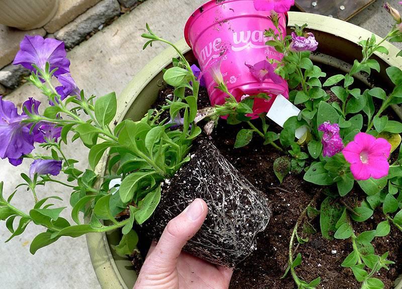 Как сажать ампельную петунию в подвесное кашпо и формирование куста