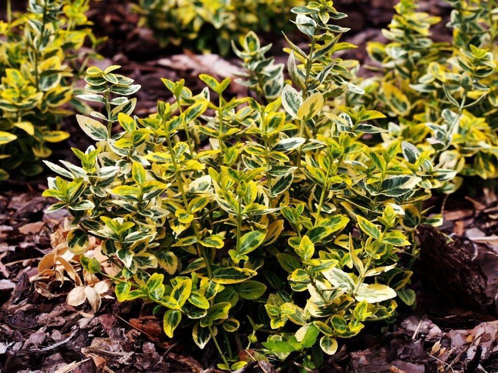 Бересклет форчуна «эмеральд голд»: посадка и уход, описание растения emerald gold, использование в ландшафтном дизайне