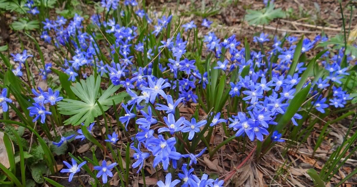 Цветок хионодокса: посадка и уход в открытом грунте, фото, выращивание в саду