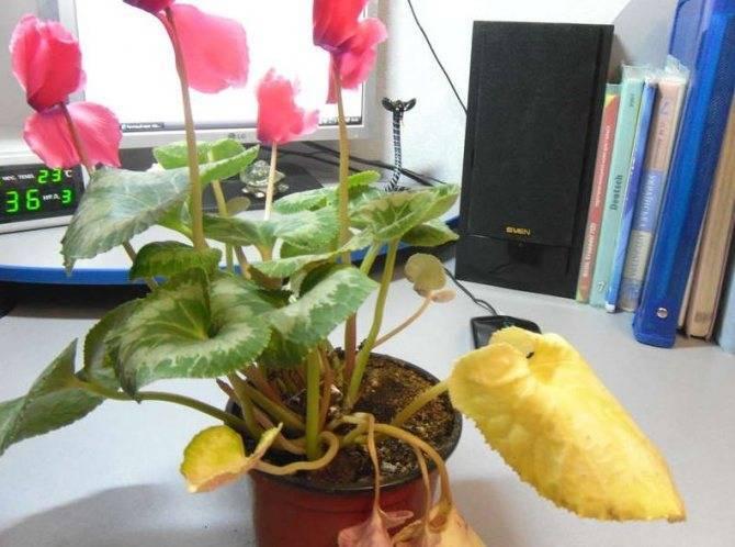 Цикламен в периоде покоя: когда цветок в домашних условиях уходит в это состояние, какая помощь ему в это время нужна, а также как его разбудить после спячки