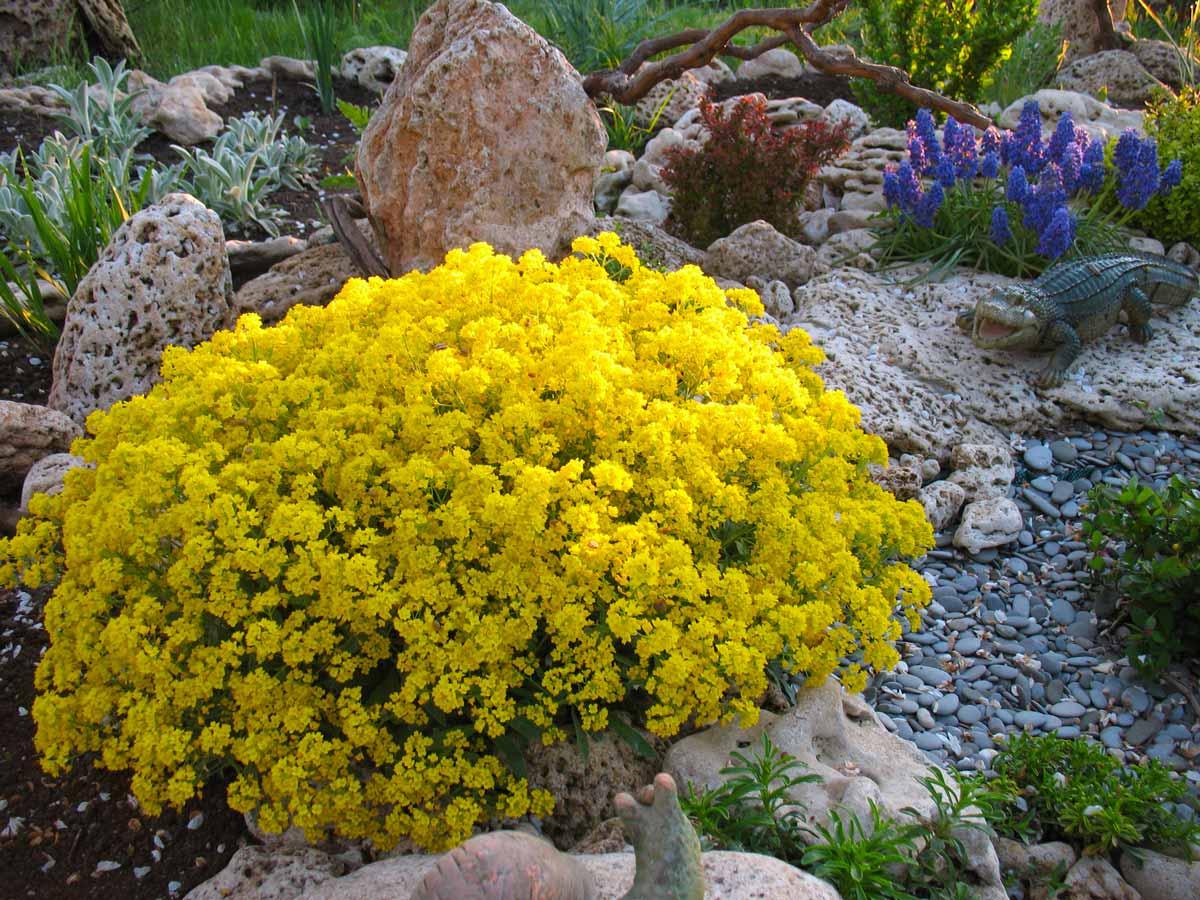 Алиссум: виды и сорта, советы по выращиванию  - энциклопедия цветов