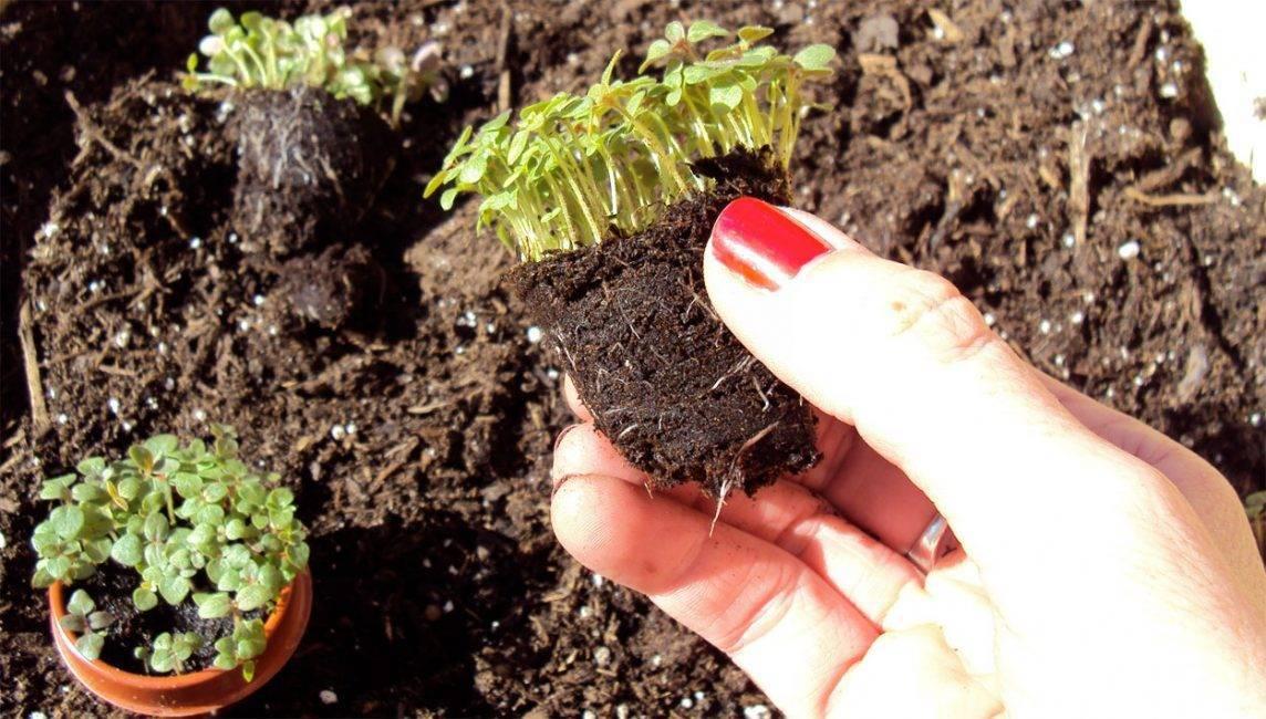 Бархатцы: выращивание из семян, когда сажать на рассаду в 2020 году