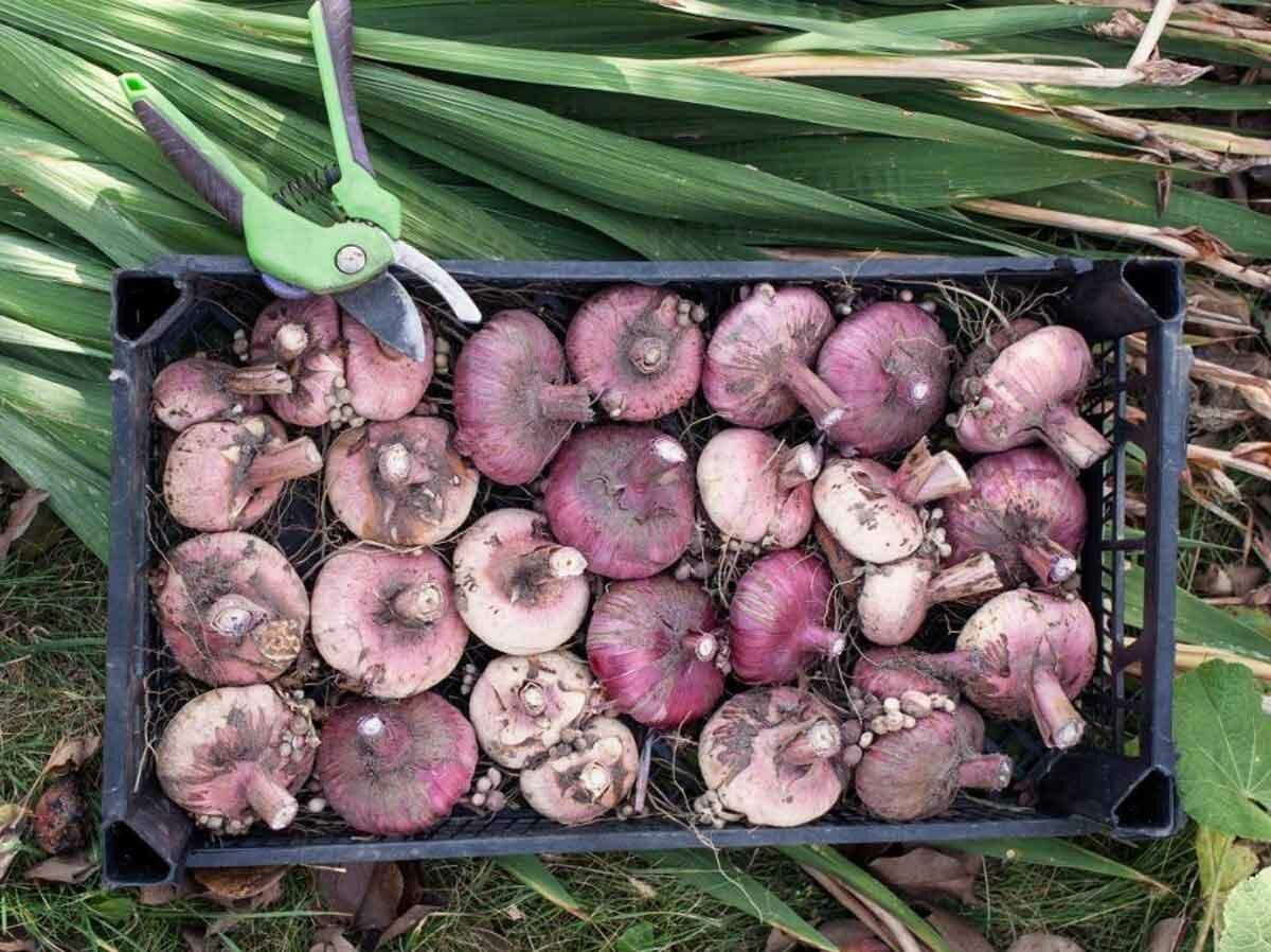 Гладиолусы: выращивание в саду, когда выкапывать и как хранить