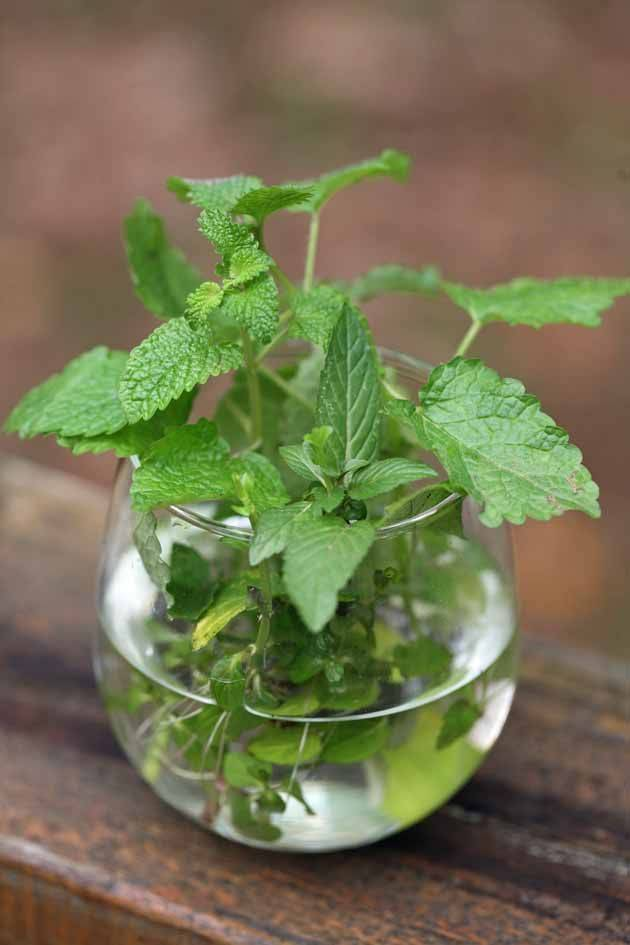Мелисса: выращивание и уход, размножение, сорта мелиссы лекарственной. как выращивать мяту и мелиссу в домашних условиях