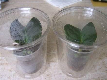 Размножение сортов фиалки с помощью листа. пошаговая инструкция
