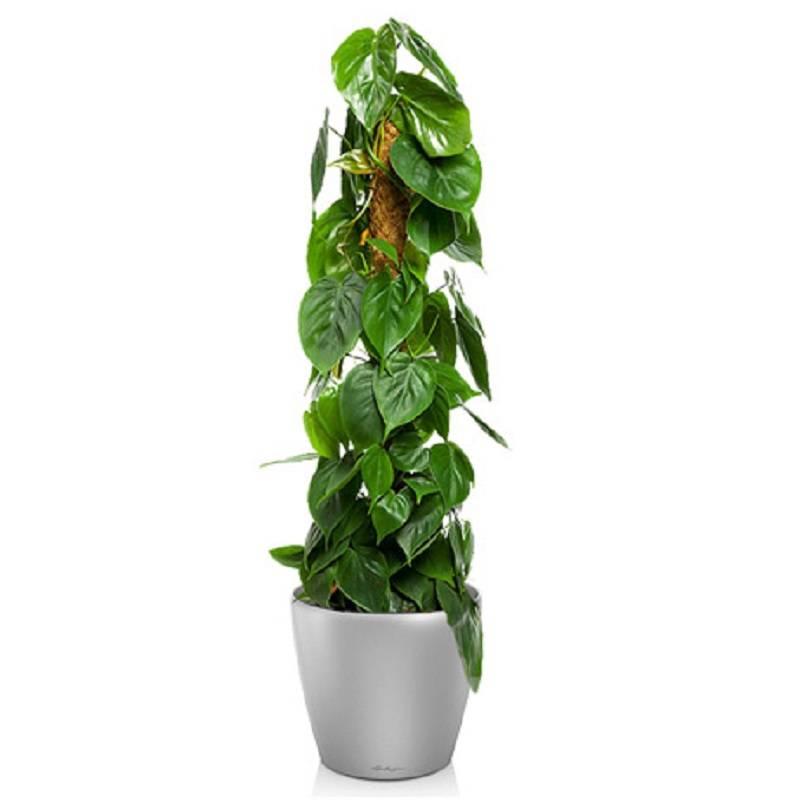 Комнатное растение филодендрон: виды сфото для выращивания дома
