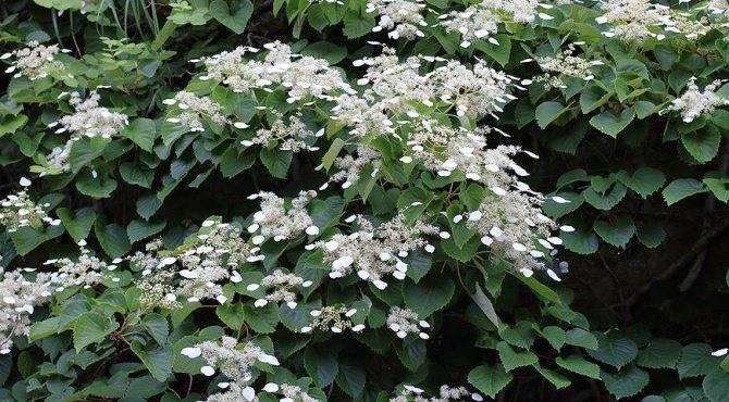 Гортензия черешковая или плетистая — виды, посадка и уход в открытом грунте