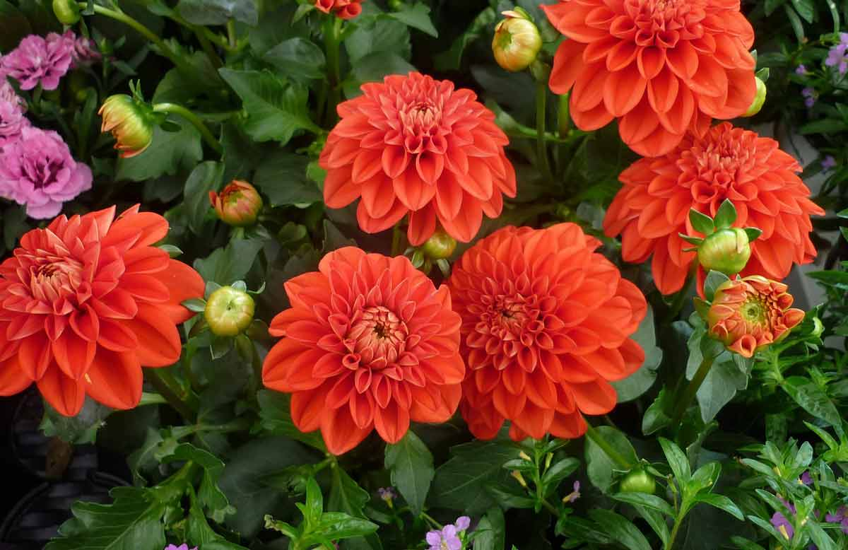 Многолетние георгины: сорта, посадка и уход за цветами