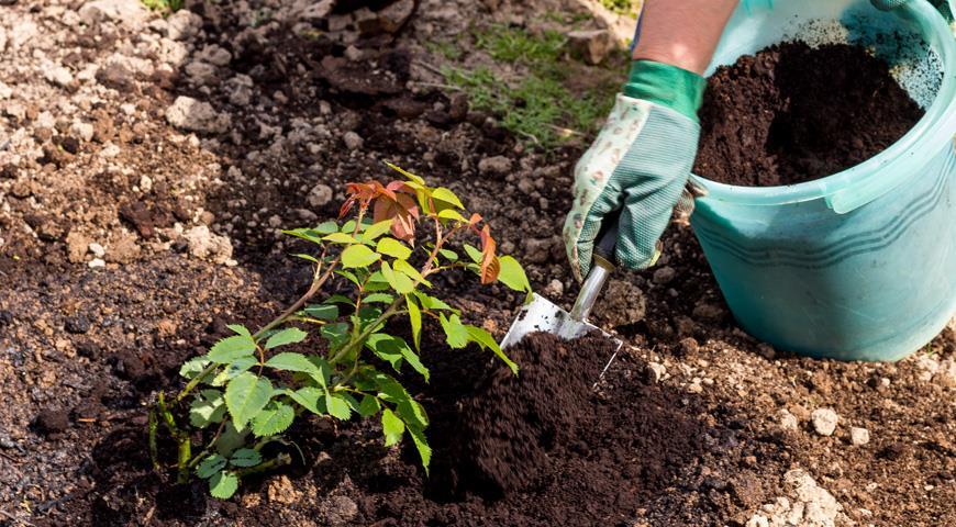 Как и когда можно высаживать розы в открытый грунт?