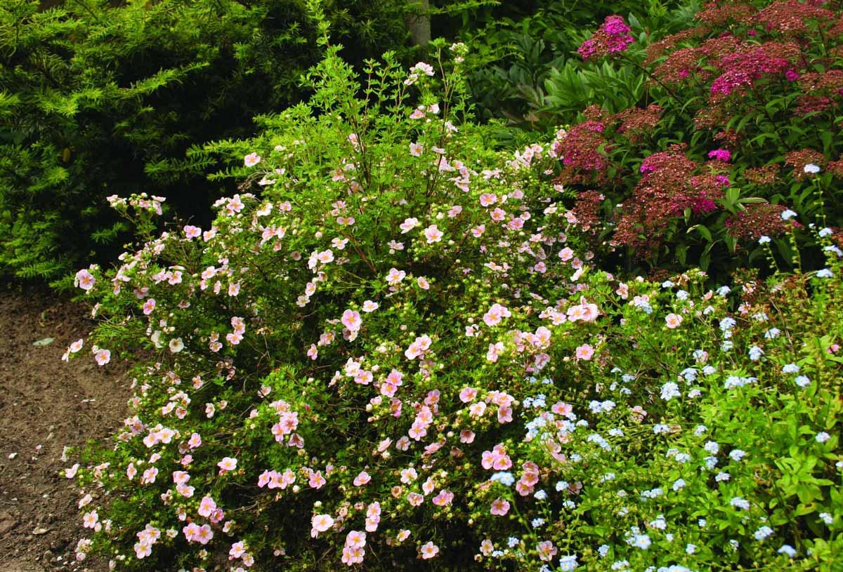 Лапчатка – особенности размножения кустарника
