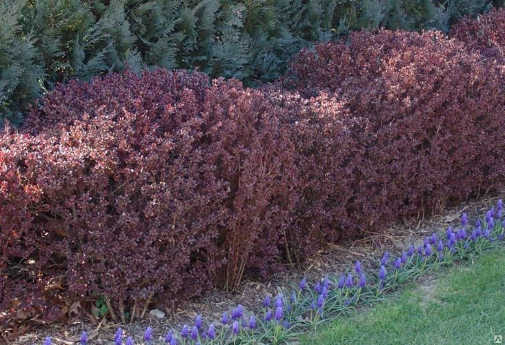 Посадка барбариса весной и осенью: декоративного (тунберга) и обыкновенного
