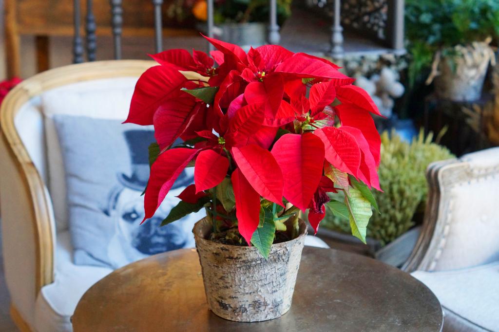 Цветок рождественская или вифлеемская звезда: уход в домашних условиях
