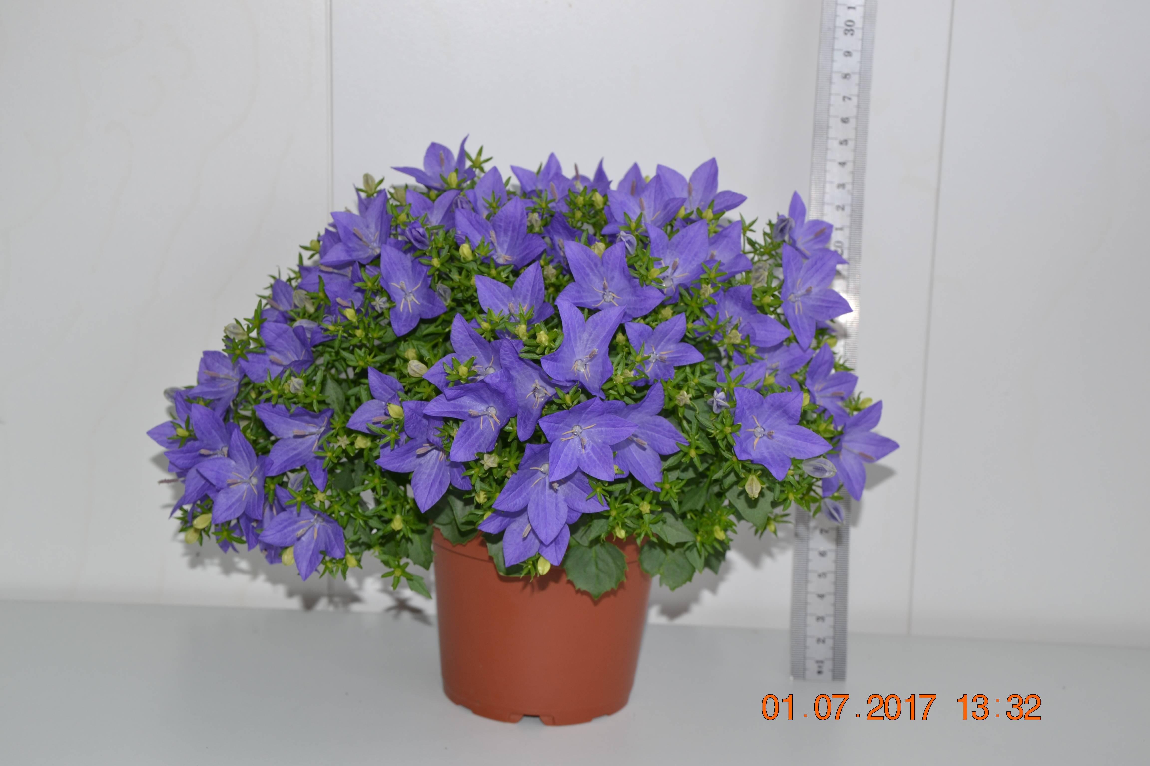 Названия и описания домашних растений и комнатных цветков с красными листьями