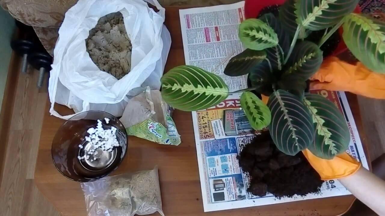 Домашний цветок калатея: уход в домашних условиях
