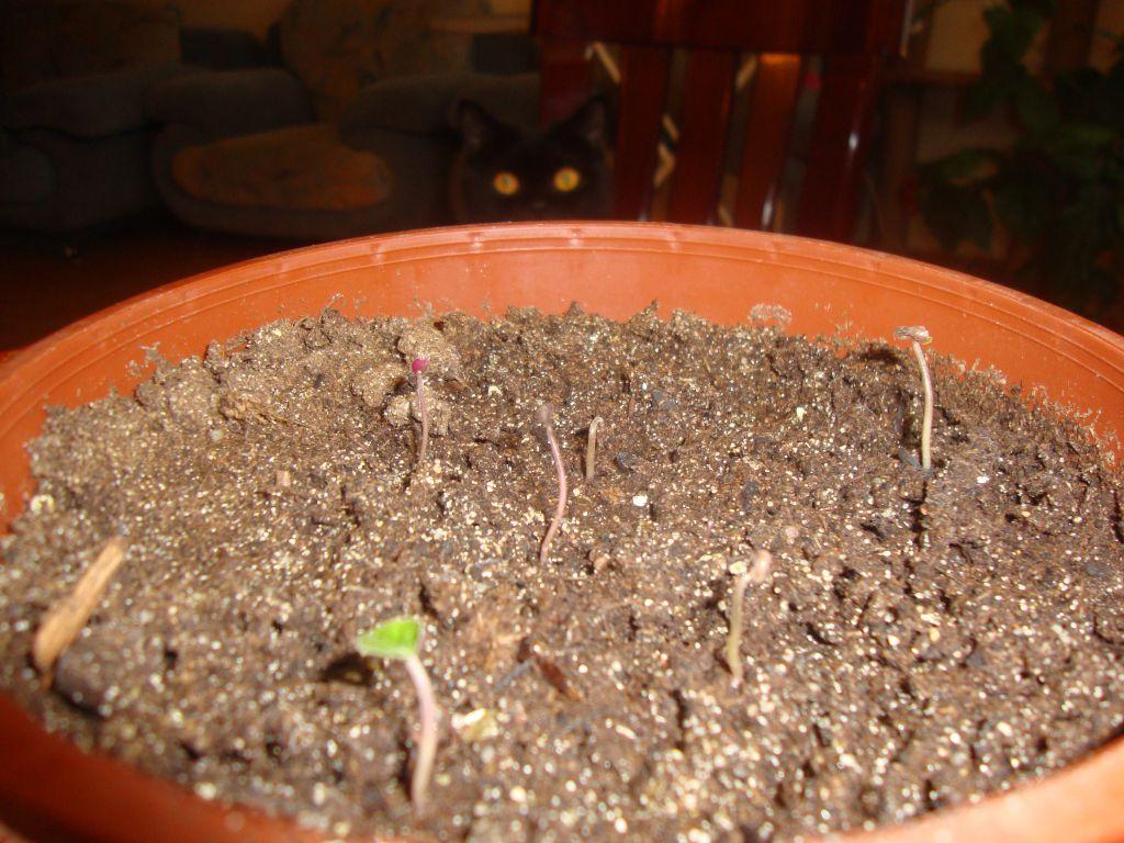 Цикламен из семян — как вырастить дома