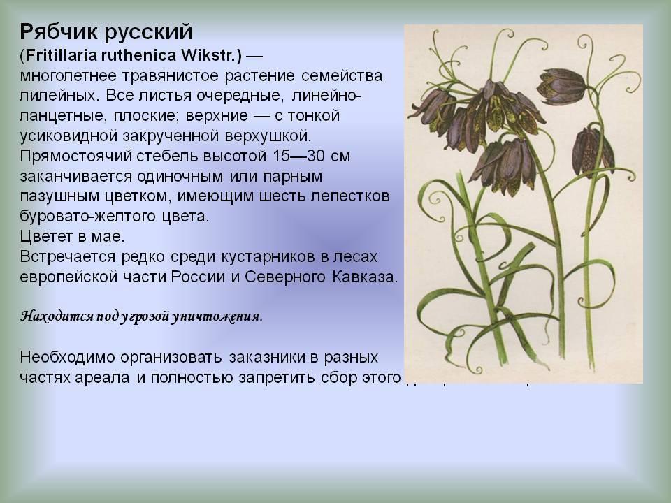 Растение рябчик: характеристика видов и лечебные свойства