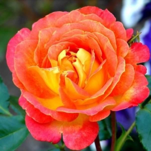 Описание сорта чайно-гибридной розы аква: характеристики, как правильно ухаживать