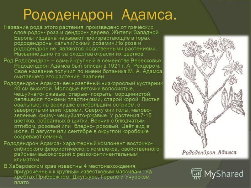 Рододендрон фантастика якушиманский: описание внешнего вида, особенности ухода, а также как бороться с болезнями и вредителями и какой он обладает зимостойкостью?