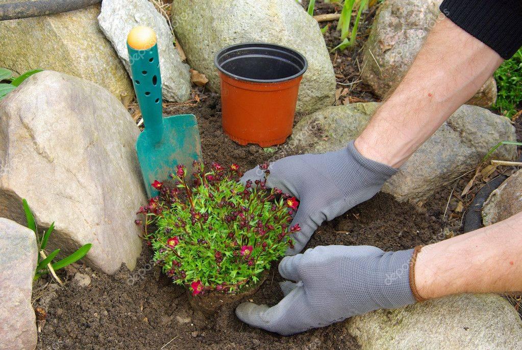 Выращивание камнеломки в домашних условиях и саду