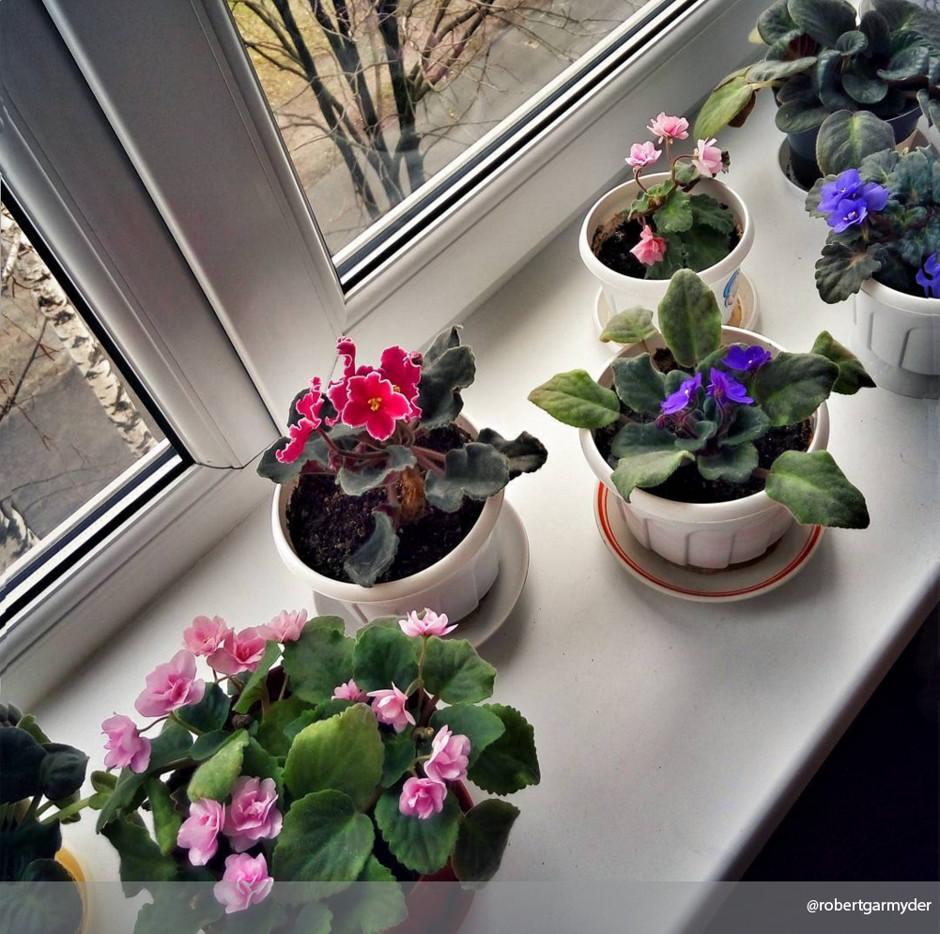 Сенполия - фото, уход в домашних условиях, размножение