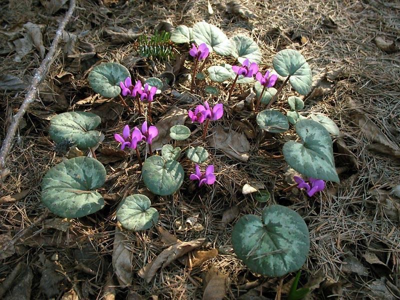 Цикламен кавказский (23 фото): описание подвида цикламен косский, посадка и уход за растением