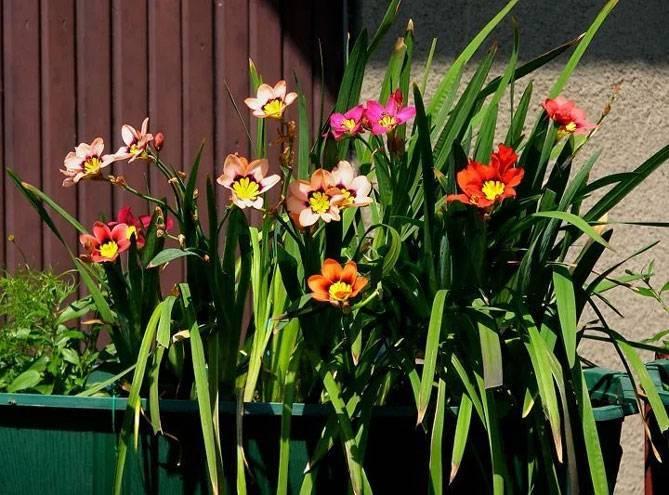 Спараксис – экзотический цветок на вашем участке. посадка и уход