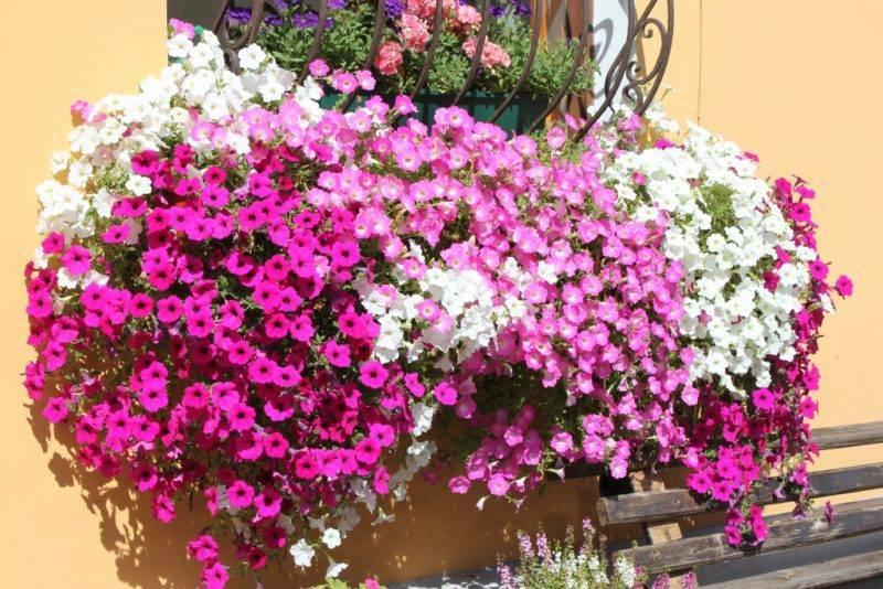 7 лучших красивоцветущих растений для ампельных композиций