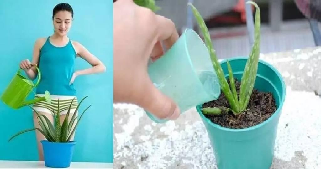 Столетник: уход в домашних условиях, и как пересадить алоэ древовидное, как часто поливать, чем подкормить, почему сохнут кончики листьев, какой состав почвы нужен?