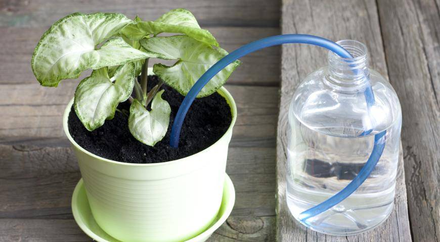 Как поливать фиалки — правила и особенности полива