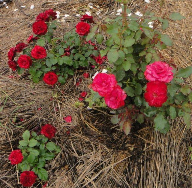 Роза мидсаммер (midsummer) — что это за сорт, описание