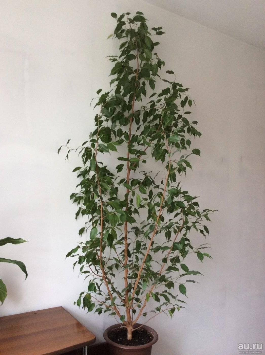 Комнатное растение березка (циссус): уход в домашних условиях, размножение