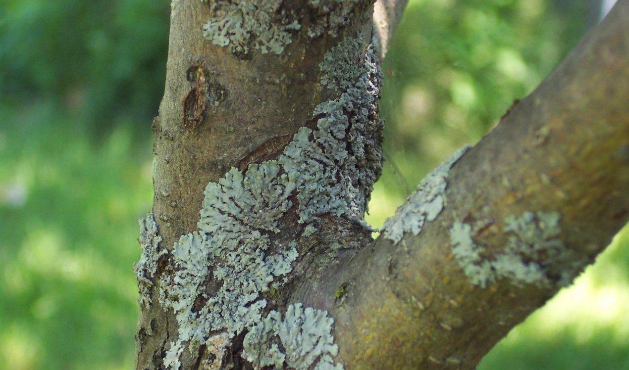 Опрыскивание плодовых деревьев весной до и после цветения