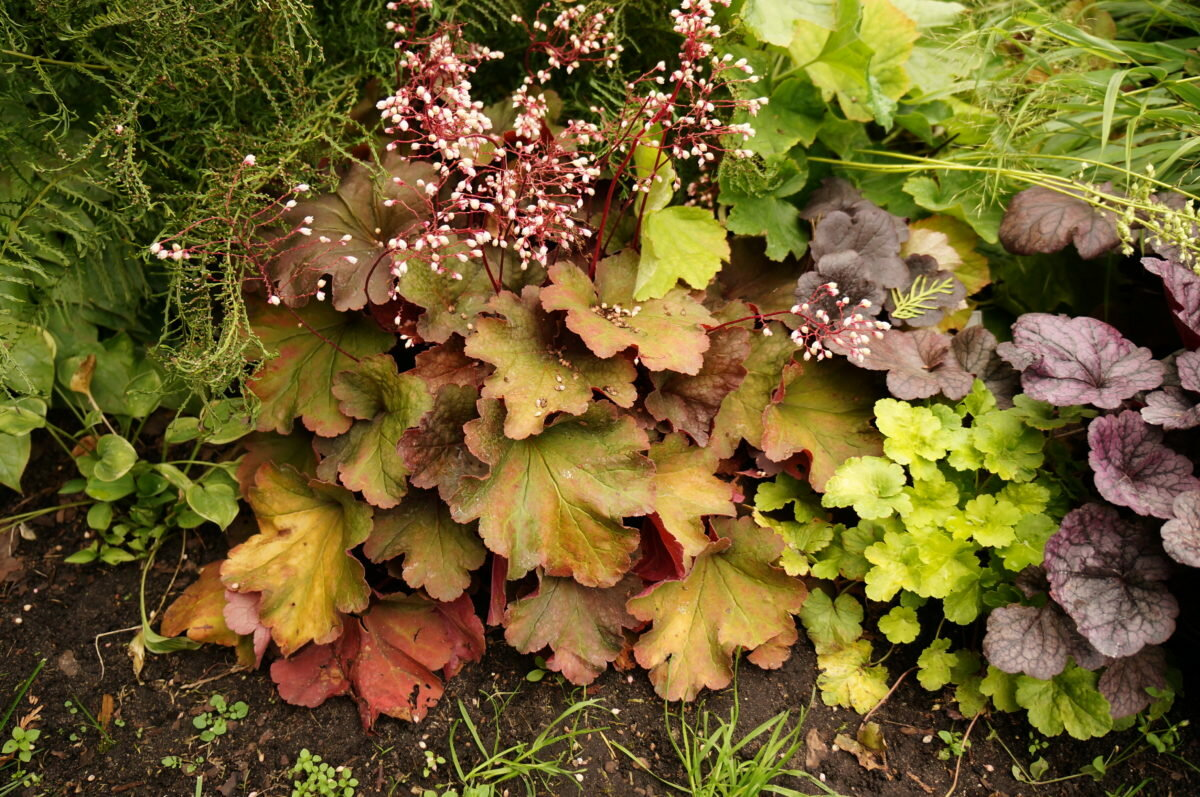 Подробное описание гейхера рио: основные особенности этого растения