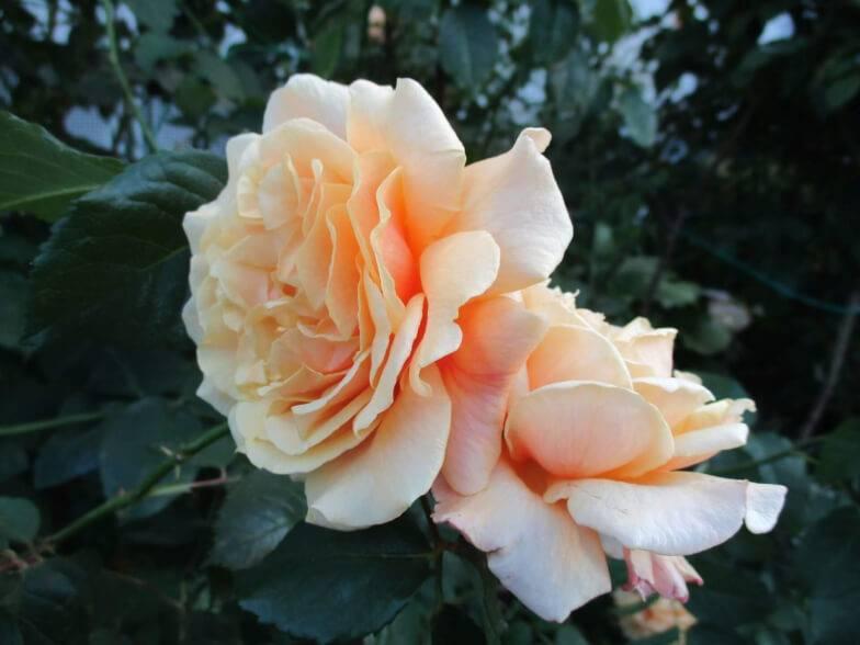 Сорта роз: обзор популярных разновидностей, советы по уходу