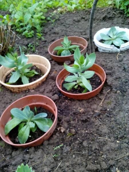 Прекрасная эустома: выращивание из семян в домашних условиях