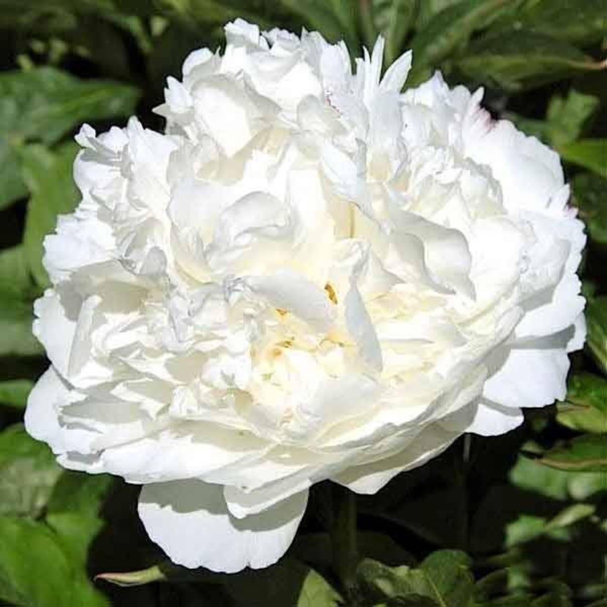 Сорта белых пионов и их выращивание