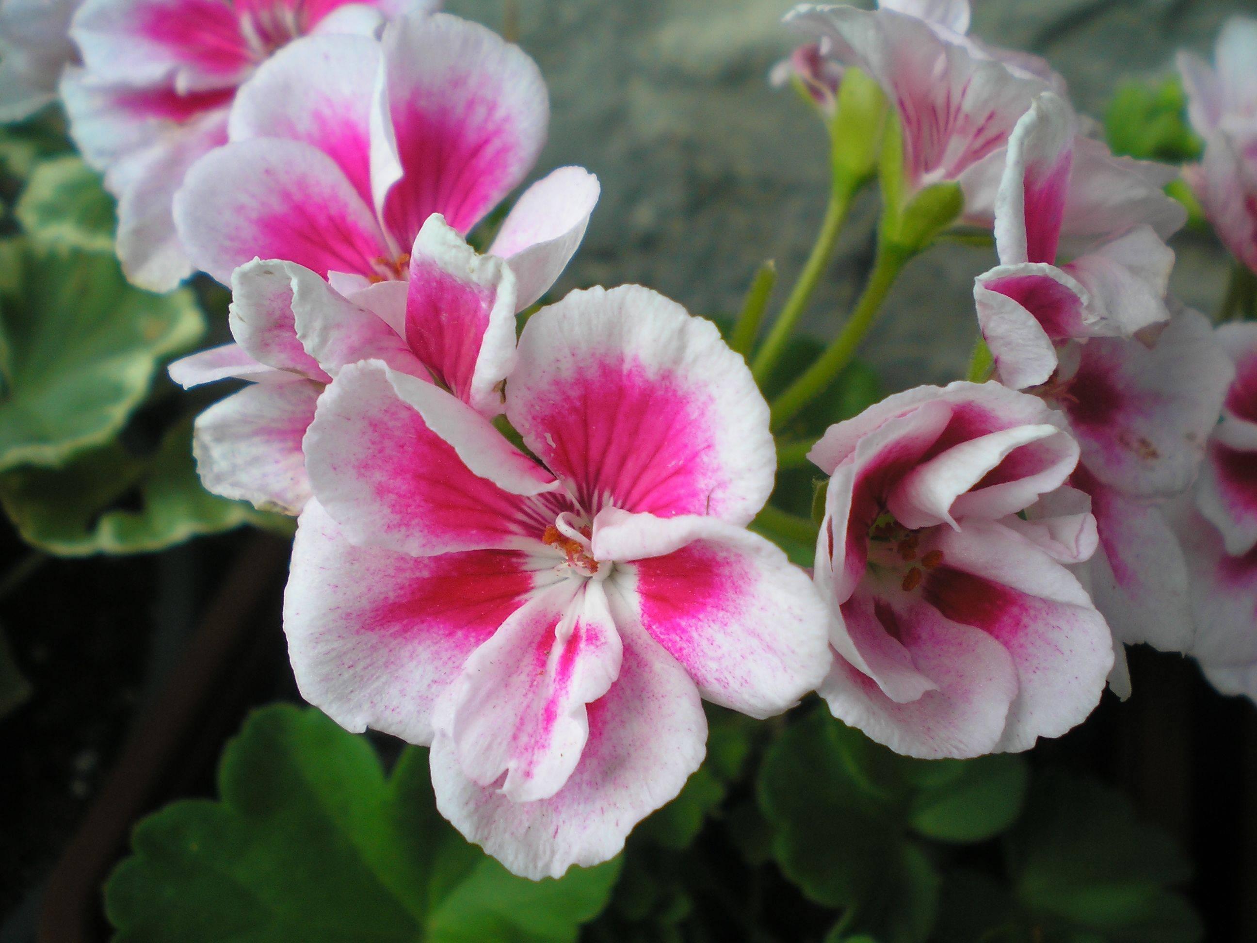 Герань садовая многолетняя — посадка и уход в открытом грунте