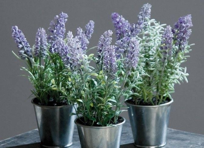 Как вырастить лаванду из черенков и семян в домашних условиях