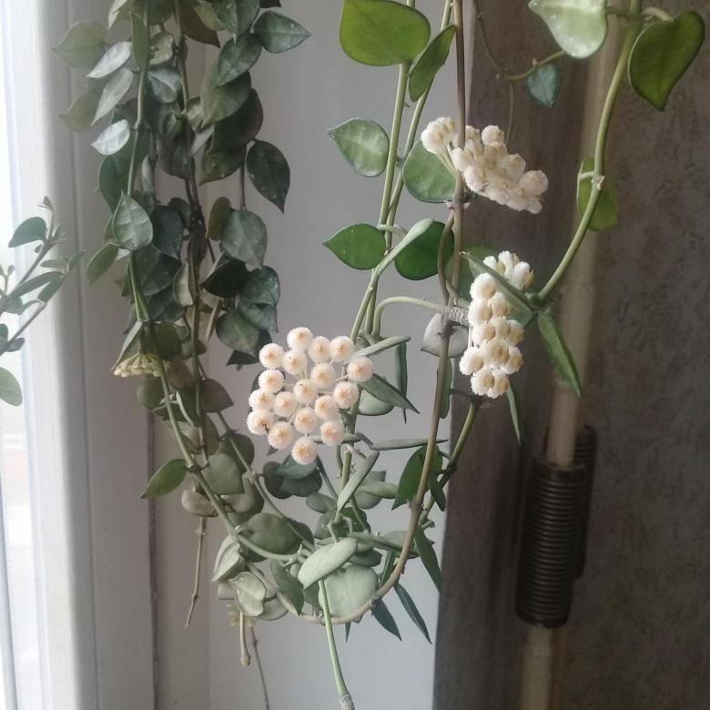 Хойя —виды и сорта, уход в домашних условиях