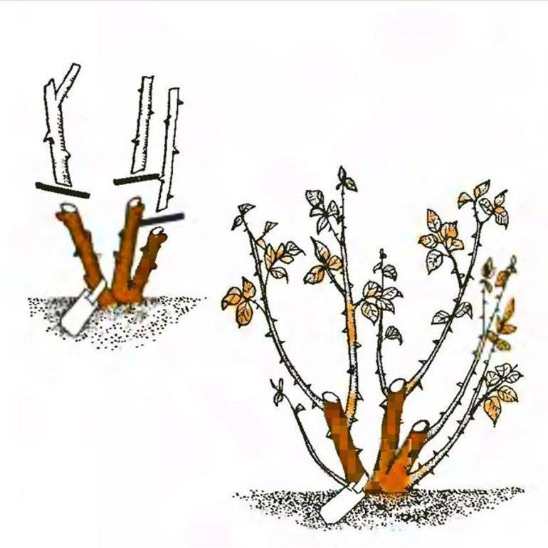 Как обрезать гортензию: схемы обрезки после цветения на зиму, формирование кроны