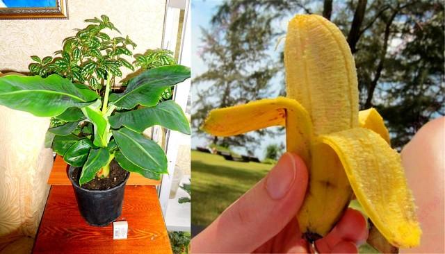 Выращивание канны в саду: проращивание дома в горшке и посадка в открытый грунт