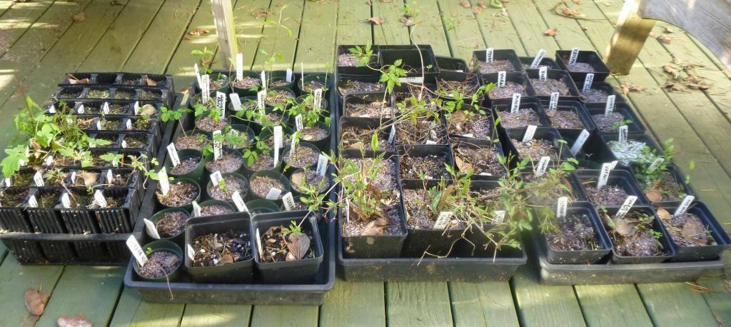 Как вырастить клематис из семян? 24 фото особенности выращивания рассады клематисов из семян в домашних условиях