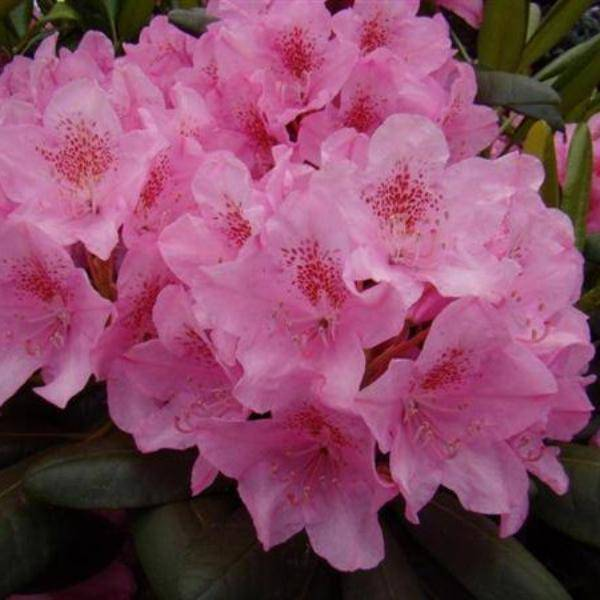 Рододендрон хеллики: описание растения, для которого характерна зимостойкость, инструкции по уходу и размножению, а также устранению болезней и вредителей
